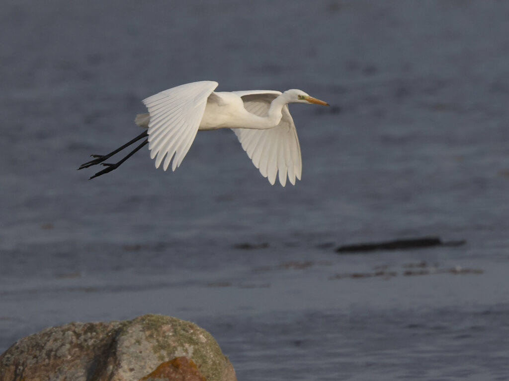 Ägretthäger (Great White Heron) vid Hahns, Ölands Södra Udde
