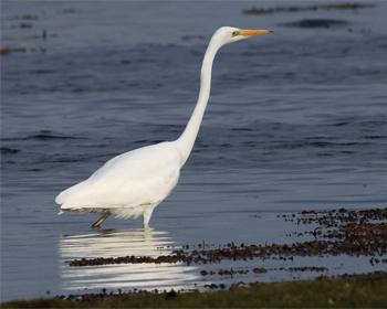 Ägretthäger (Great White Heron) vid Hahns, längs fyrvägen till Öland Södra Udde