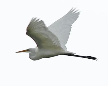 Ägretthäger (Great White Heron) överflygandes vid Stora Amundö, Göteborg