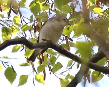Bergsångare - Phylloscopus bonelli - Western Bonelli's Warbler