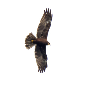 Brun kärrhök (Marsh Harrier) vid Falsterbo Kanal, Skåne