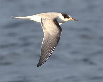 Fisktärna (Common Tern) vid Stora Amundö, Göteborg