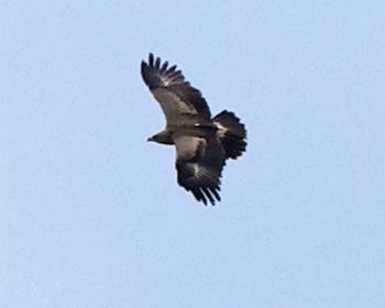 Mindre skrikörn (Lesser Spotted Eagle) vid Mönarp, Västergötland