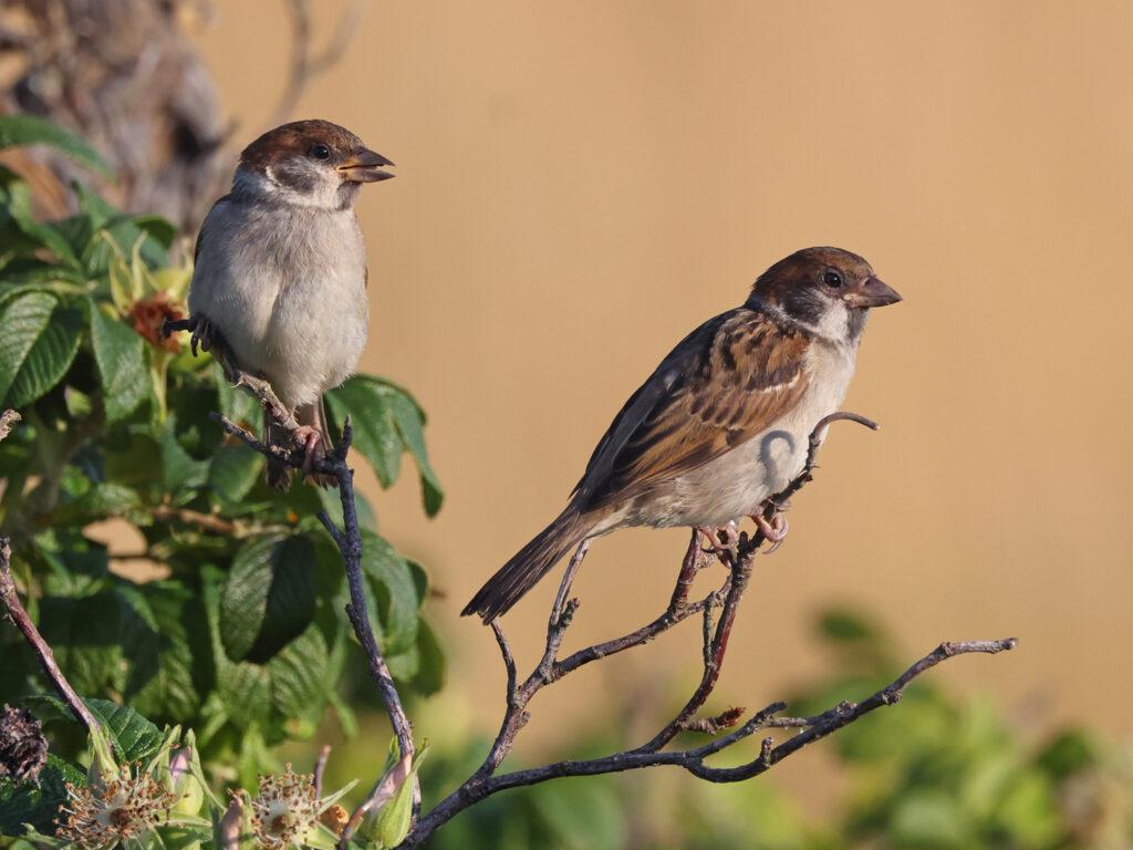 Pilfink (Tree Sparrow) vid Stora Amundö, Göteborg