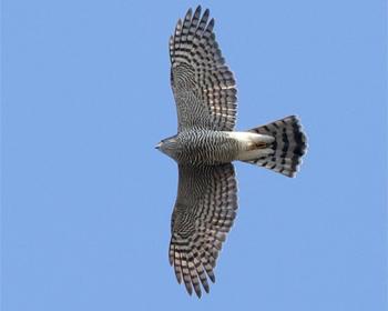 Sparvhök (Sparrowhawk) vid Falsterbo Kanal, Skåne
