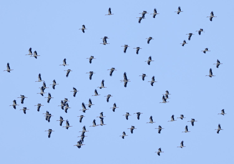 Vit stork (White Stork) vid Falsterbo Kanal i Skåne
