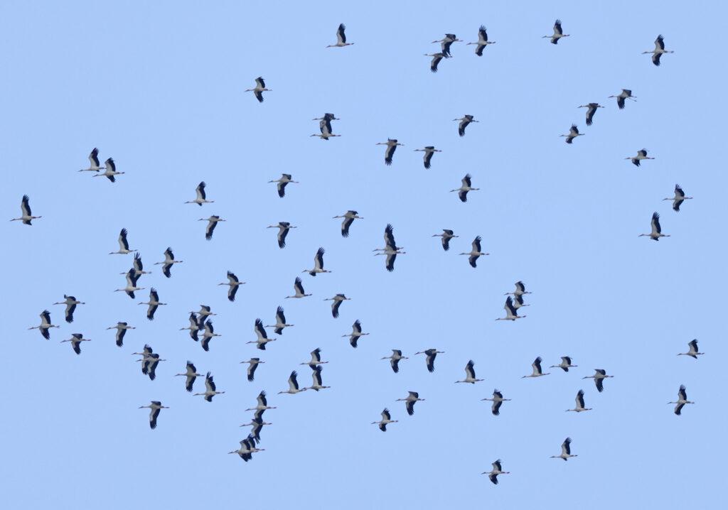 Vit stork (White Stork) vid Falsterbo Kanal, Skåne